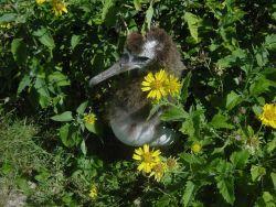 Albatross chick. Photo