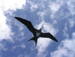 Frigate bird. Photo