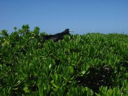 Frigate bird in shrubs. Photo