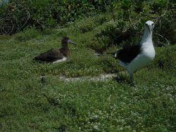 Laysan albatross. Photo