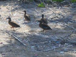 Laysan ducks (Anas laysanensis). Photo