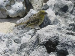 A Laysan finch (Telespiza cantans). Photo