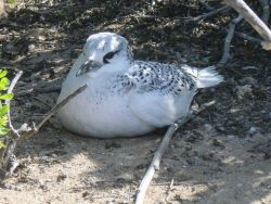 A tropic bird chick. Photo
