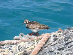 A ruddy turnstone, a migratory bird which migrates between Alaska and Hawaii. Photo