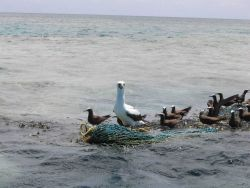 A booby and noddies use floating nets and debris from fishing operations as perch. Photo