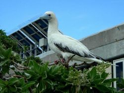 A red-footed booby. Photo