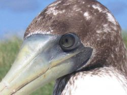 Brown booby. Photo