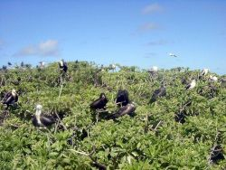 Frigate birds and boobies. Photo