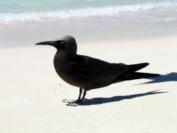 Brown noddy. Photo