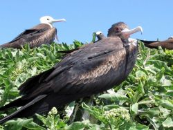 Closeup of a frigate bird. Photo