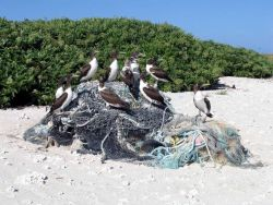 Brown boobies on marine debris. Photo