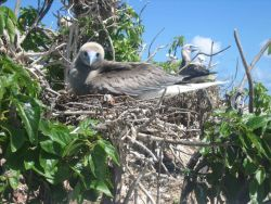 Booby chick that has nearly outgrown the nest. Photo