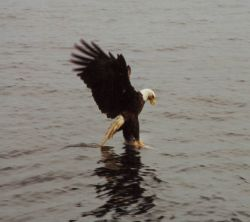 Bald eagle catching dinner. Photo