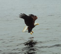 Bald eagle on course to catch fish. Photo