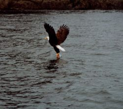 Bald eagle lifting fish from water. Photo
