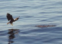 Eagle about to catch dinner. Photo