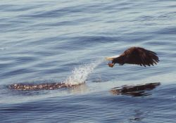 Eagle maybe caught dinner in form of squid, maybe caught seaweed. Photo