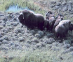Musk oxen - Ovibos moschatus. Photo