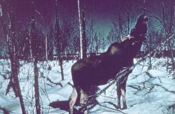 Moose - Alces alces gigas - the largest of the deer family. Photo