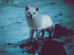 An Arctic fox - Alopex lagopus. Photo