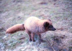 Red fox - Vulpes vulpes. Photo