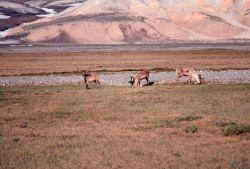 Caribou - Rangifer tarandus. Photo