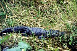 An American alligator (Alligator mississippiensis). Photo