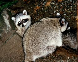 Raccoons (Procyon lotor). Photo