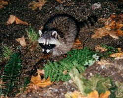 A raccoon (Procyon lotor). Photo