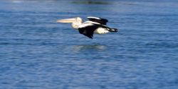 Australian pelican gliding over a calm waterway. Photo