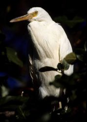 Cattle egret in a tree. Photo
