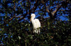Cattle egret. Photo