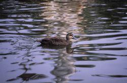 Pacific black duck. Photo