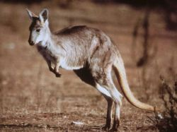 Kangaroo. Photo