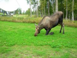 Cow moose kneeling to reach the clover Photo
