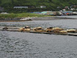 Steller sea lions (Eumetopias jubatus) hanging out in the Kodiak Harbor. Photo
