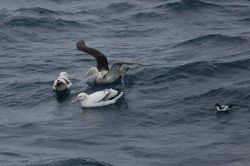 Wandering albatross. Photo