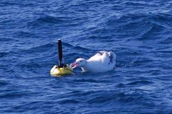 Wandering albatross attempting to eat small buoy. Photo