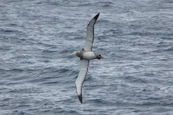 Juvenile wandering albatross. Photo
