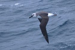 Juvenile grey-headed albatross (Thalassarche chrysostoma). Photo