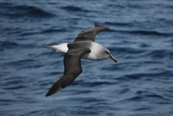 Grey-headed albatross. Photo