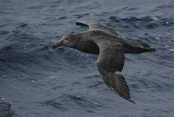 Northern giant petrel. Photo