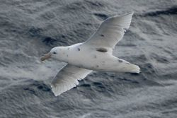 Southern giant petrel light phase. Photo
