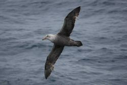 Southern giant petrel. Photo