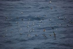 Greater shearwaters. Photo
