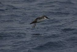Greater shearwater. Photo