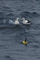Albatross can't dine on buoy so decide to kiss instead. Photo