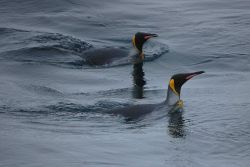 King penguins. Photo