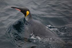 King penguin. Photo