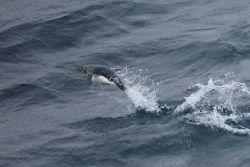 Macaroni penguin. Photo